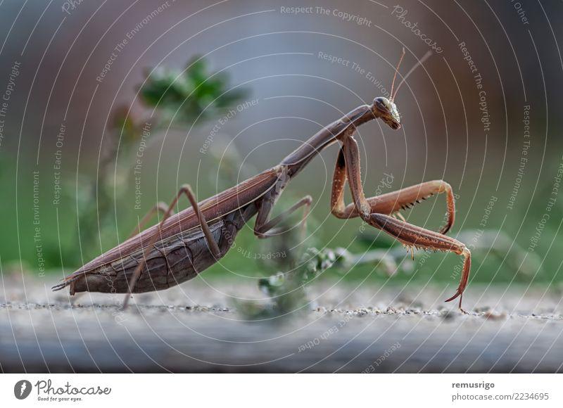 Closeup of a Praying Mantis Animal Stand Wild Green arthropod Bug Carnivore Living thing Insect mantis Pests praying predator wildlife Timisoara Romania