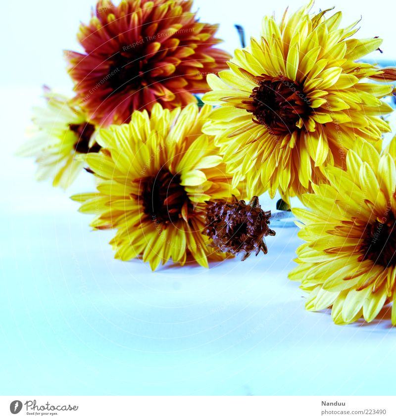 White balance accident² Flower Kitsch Transience Bouquet Decoration Floristry Dahlia Blossom Blossoming Spring fever Blossom leave Colour photo Multicoloured
