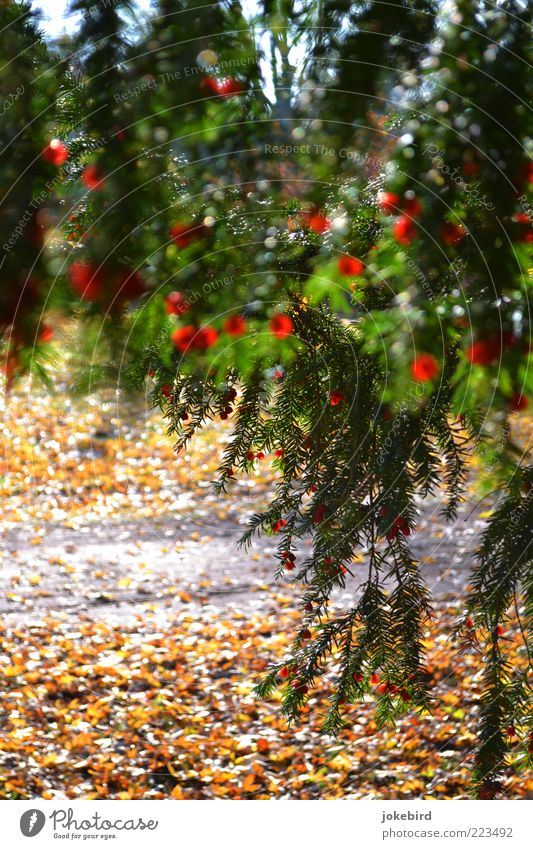 curtain Autumn Tree Coniferous trees Yew Seed Twig Autumn leaves Autumnal Autumnal colours Green Red Bright Colours Hang Hide Hiding place Lanes & trails