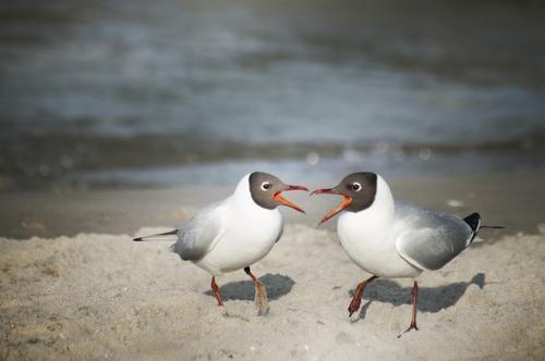 let's twist again! Seagull Black-headed gull  Beach Baltic Sea Sandy beach Bird Pair of animals Argument Communicate Together Duet Colour photo Exterior shot