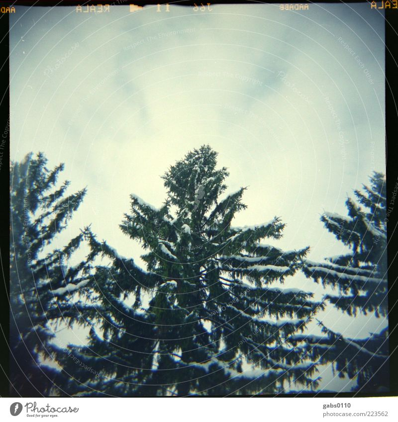 Christmas tree Environment Nature Sky Clouds Winter Snow Tree Wood Old Growth Large Above Point Blue Gray Green White Calm Freedom Symmetry Attachment