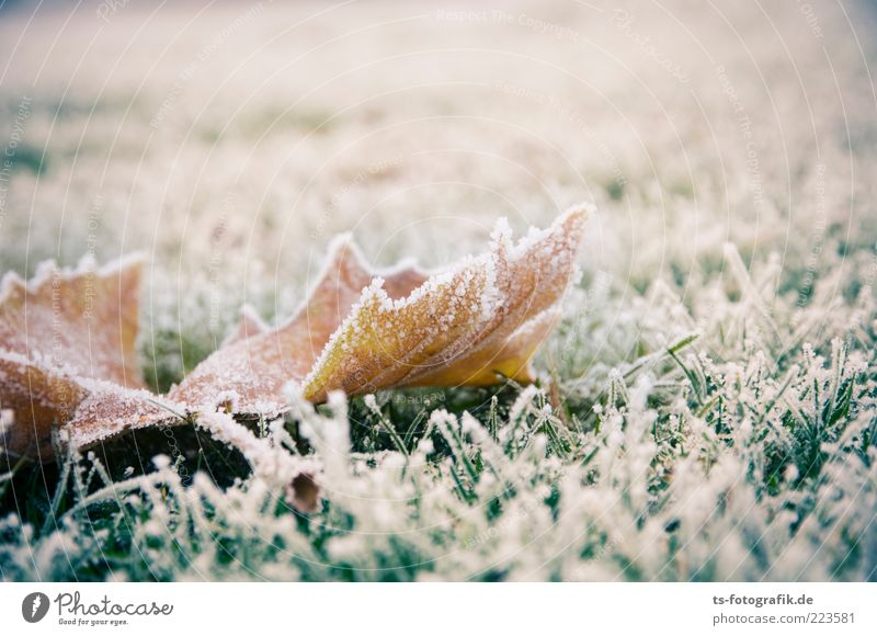 The last foliage Environment Nature Plant Winter Climate Weather Ice Frost Grass Ivy Leaf Meadow Cold Brown Green White Hoar frost Ice crystal Autumn leaves