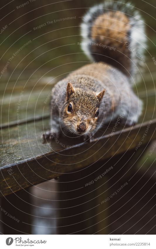 Nuts? Table Wooden table Nature Animal Park Wild animal Animal face Pelt Squirrel 1 Looking Sit Authentic Exceptional Brash Natural Curiosity Cute Brown