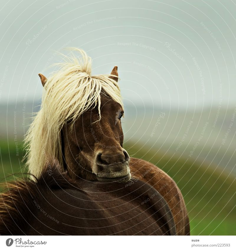 Shall I? Animal Wind Farm animal Wild animal Horse Animal face Think Stand Wait Esthetic Natural Moody Boredom Mane Iceland Pony Meditative Colour photo