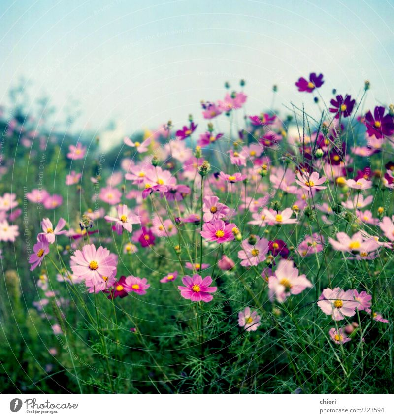 My Dream..... Beautiful Life Blossom Pink Violet Blossoming Flower meadow Meadow flower