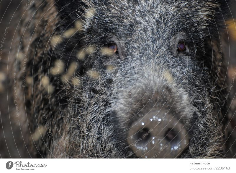 wild boar Nature Autumn Forest Animal Wild animal Animal face Pelt Zoo Wild boar Swine 1 Hunting Running Looking Aggression Threat Boar Colour photo