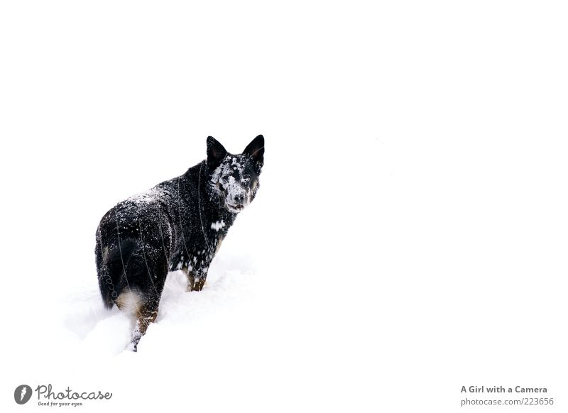 Snow Dog II Environment Nature Winter Meadow Animal Pet 1 Looking Playing Exceptional Friendliness Happiness Happy Cold Black White Identity Idyll Wallow