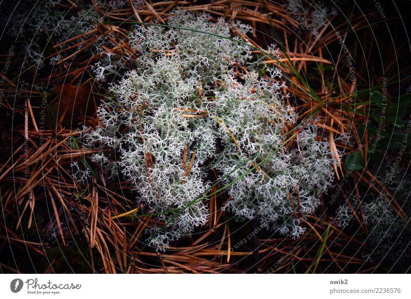 Nature Plant Forest Environment Growth Soft Elements Under Lichen Woodground Fir needle Reticular