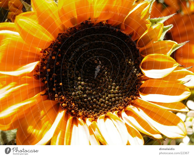 sunflower Flower Sunflower Blossom Leaf Yellow