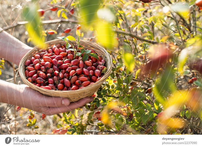 Picking rosehip Fruit Tea Nature Plant Leaf Dog Natural Wild Red White rosehips oil medicine Berries Vitamin background healthy Organic Mature food herbal
