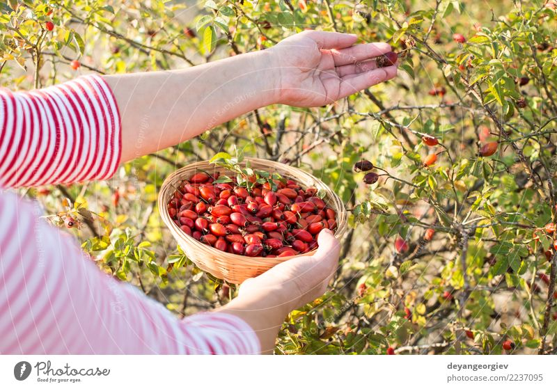 Picking rosehip Fruit Herbs and spices Medication Woman Adults Hand Nature Plant Autumn Bushes Leaf Dog Natural Wild Red picking rosehips rosa canina briar