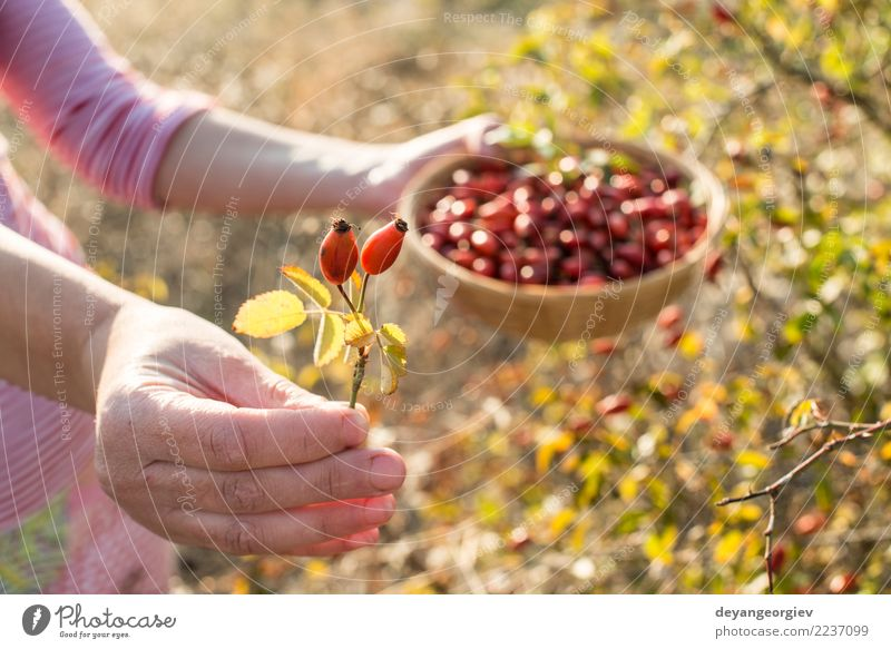 Picking rosehip Woman Nature Dog Plant Hand Red Leaf Adults Autumn Natural Wild Fruit Bushes Herbs and spices Medication Berries