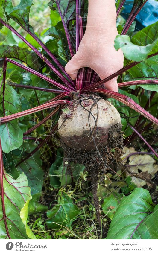 Picking red beets Vegetable Vegetarian diet Garden Gardening Nature Plant Earth Leaf Growth Fresh Natural Green Red Red beet beetroot food Root Organic healthy