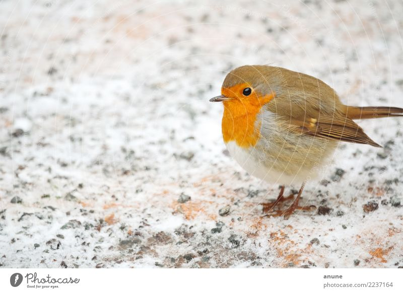 Robin in winter Christmas & Advent Environment Nature Animal Winter Ice Frost Snow Bird Observe To feed Feeding Communicate Cute Beautiful Brown Gray Orange Red