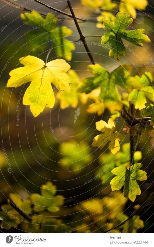 Nature Green Beautiful Plant Leaf Yellow Autumn Environment Bright Growth Illuminate Beautiful weather Foliage plant Twigs and branches Autumnal Wild plant
