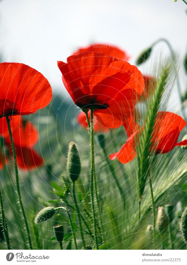 the red poppy Flower Red Poppy Leaf Corn poppy Intoxicant Blossom Grass Seed Blossoming opium Alcohol-fueled