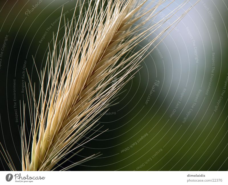Summer Grass Line Grain Seed Wheat Barley Oats