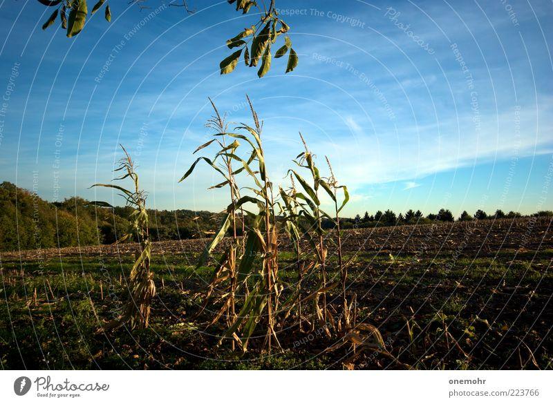 Nature Blue Green Summer Plant Landscape Far-off places Autumn Brown Field Growth Nutrition Transience End Grain Joie de vivre (Vitality)