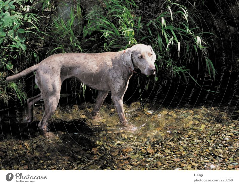 Refreshment at 37 degrees... Environment Nature Plant Water Summer Beautiful weather Grass Leaf Foliage plant Brook Animal Pet Dog Weimaraner Purebred dog 1