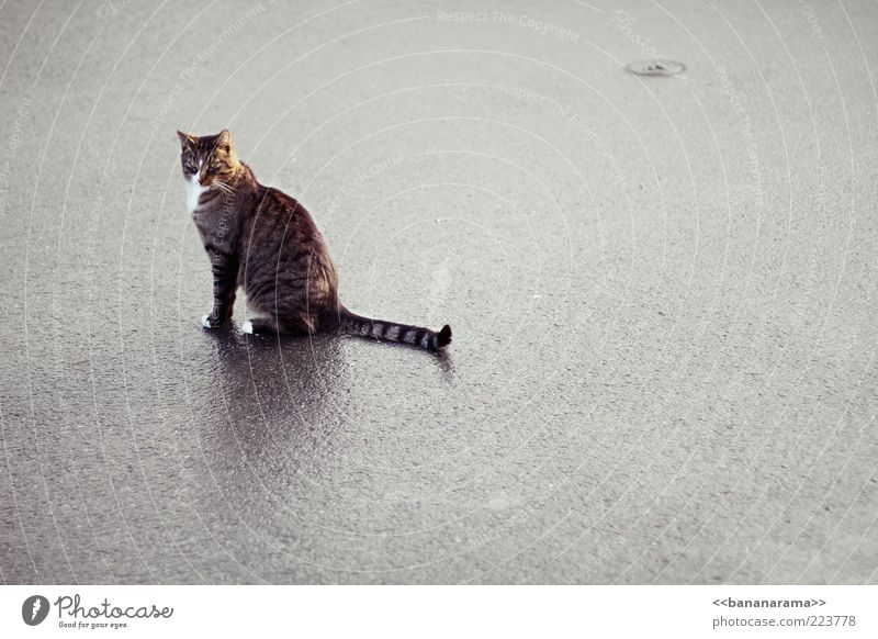 Loneliness Animal Street Cat Rain Wait Elegant Wet Sit Floor covering Asphalt Clean Pelt Damp Paw Pet