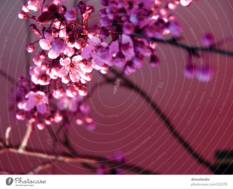 japanese spring awakens Cherry blossom Pink Tree Leaf Spring Branch Twig Blossoming