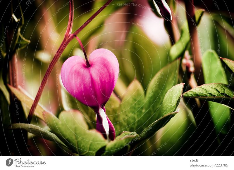 Nature Plant Beautiful Summer Flower Life Blossom Emotions Spring Exceptional Pink Blossoming Heart Romance Symbols and metaphors Kitsch