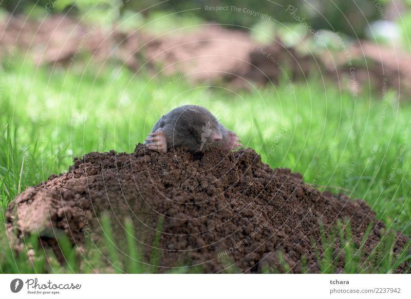 Mole Face House (Residential Structure) Garden Nature Animal Earth Grass Fur coat Small Natural Cute Wild Soft Brown Green Black Dangerous mole Mammal molehill