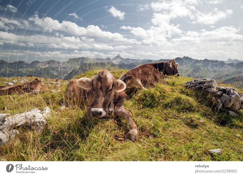 cows relaxing on alpine meadow during sunny day Relaxation Summer Mountain Nature Landscape Animal Sky Clouds Beautiful weather Grass Meadow Rock Alps