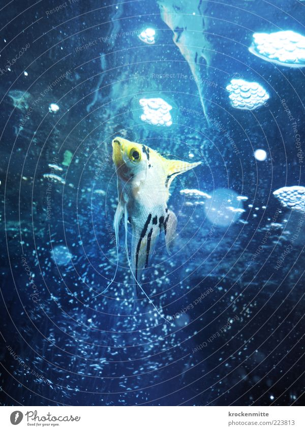 babel fish Animal Fish Aquarium 1 Dive Blue Yellow Water Surface of water Bubble Fin Gill Eyes Ornamental fish Air bubble scalar Circle Point Loneliness Pet
