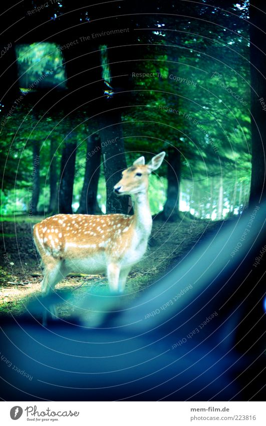 Animal Forest Car Transport Dangerous Motor vehicle Wild animal Car Window Curiosity Individual Backward Timidity Caution Road traffic Roe deer Roadside