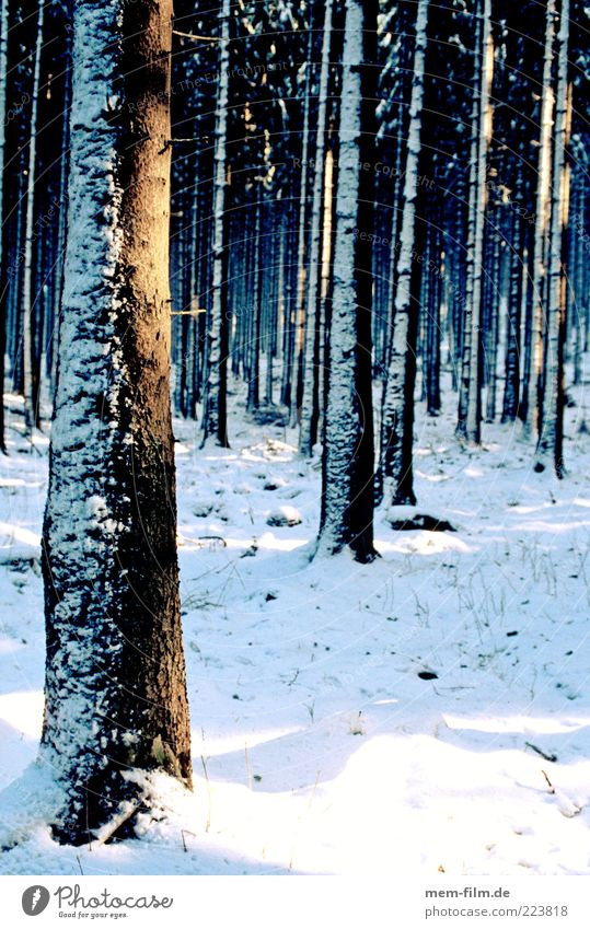 Winter Forest Snow Many Tree trunk