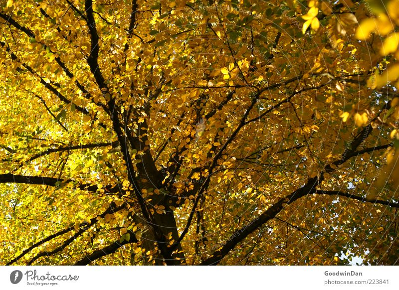 Nature Old Tree Plant Autumn Emotions Environment Moody Weather Gold Large Infinity Firm Treetop Beautiful weather Twigs and branches