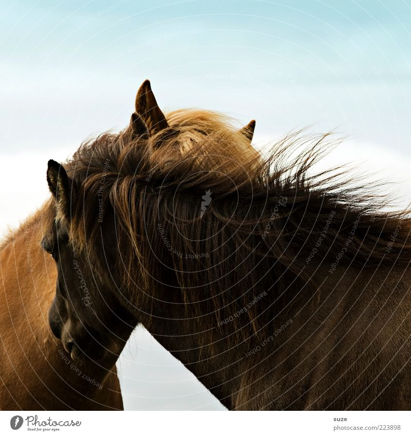 affection Animal Wind Farm animal Horse 2 Pair of animals Crawl Friendliness Natural Curiosity Mane Stroke Iceland Pony Love Related Scratch Animalistic Ear