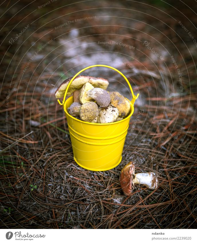 edible wild mushrooms Vegetarian diet Nature Landscape Autumn Grass Leaf Forest Fresh Natural Wild Brown Green White background Bucket Edible fall food Harvest