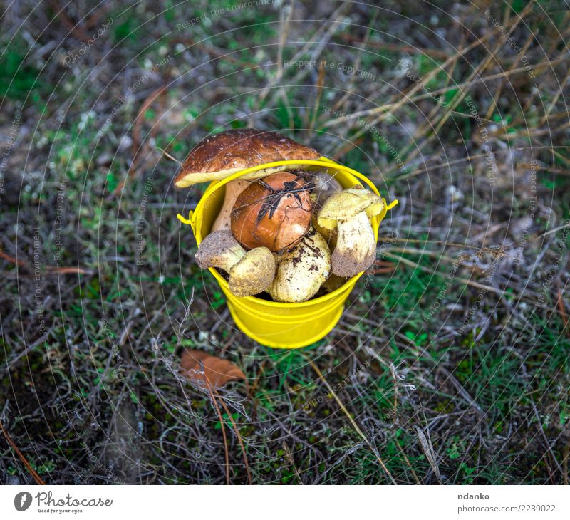 fresh edible wild mushrooms Vegetarian diet Nature Landscape Autumn Grass Moss Leaf Forest Fresh Natural Above Wild Brown Yellow Green background Bucket Edible