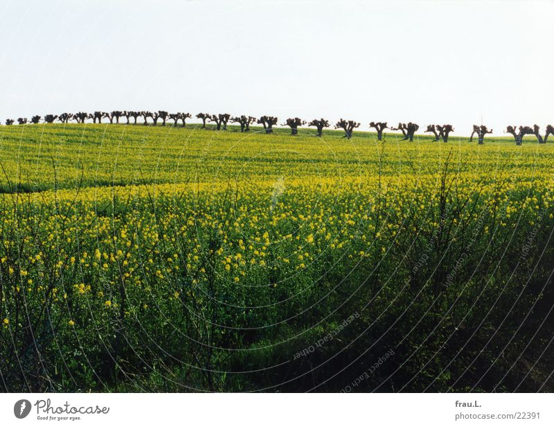 Vacation & Travel Spring Field Baltic Sea Avenue Canola Mecklenburg-Western Pomerania Canola field Pollarded willow