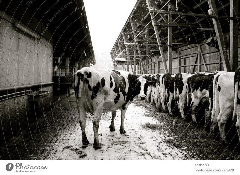 one is always special Winter Snow Snowfall Animal Farm animal Cow 1 Group of animals Uniqueness Agriculture playpen Black & white photo Exterior shot Morning