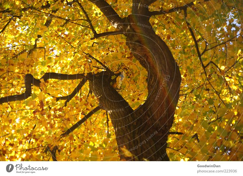 Nature Old Tree Plant Autumn Environment Authentic Branch Tree trunk Branchage Autumn leaves Deciduous tree Autumnal Autumnal colours Leaf canopy