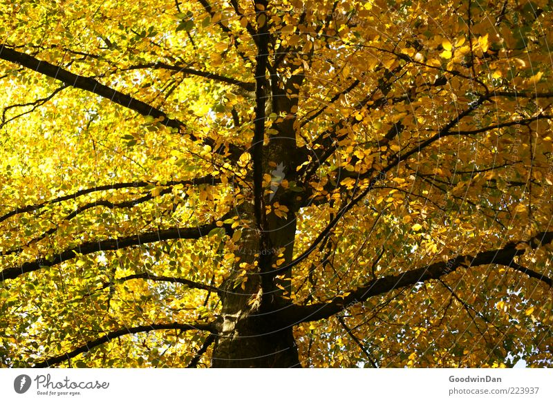 Nature Tree Beautiful Plant Autumn Environment Natural Branch Branchage Autumn leaves Deciduous tree Autumnal Light Autumnal colours Leaf canopy