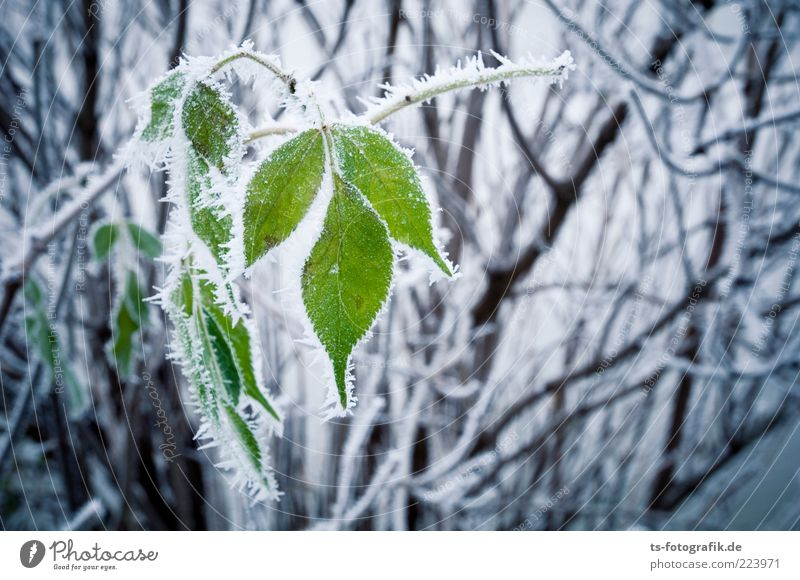 latecomers Environment Nature Plant Elements Winter Climate Weather Ice Frost Snow Bushes Leaf Cold Green Black White Hoar frost Twig Ice crystal Colour photo