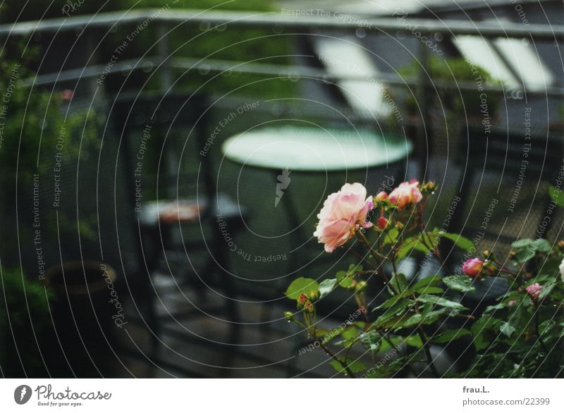 Rose in the rain Balcony Pink Green Flower Table Wet Romance Roof Drops of water Rain Handrail Blossoming Chair terrace
