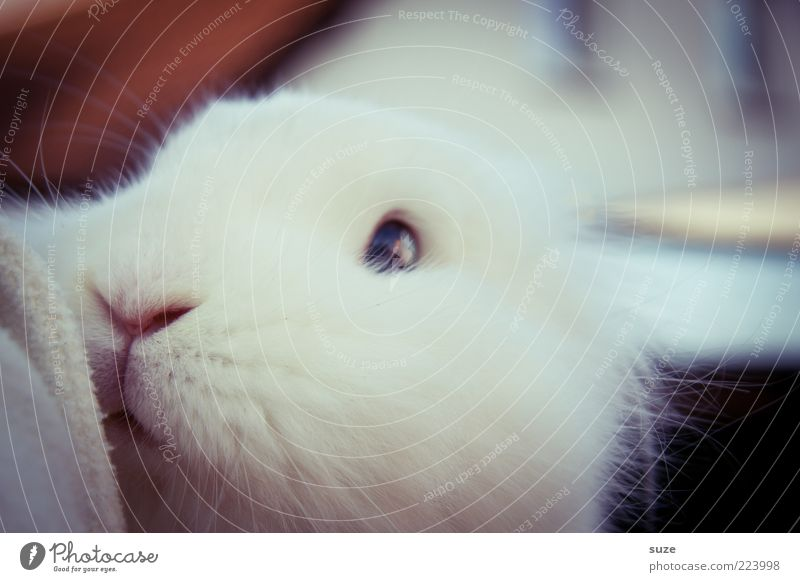 White Animal Eyes Cute Soft Nose Trust Pelt Pet Odor Animal face Hare & Rabbit & Bunny Cuddly Magic Easter Bunny Love of animals