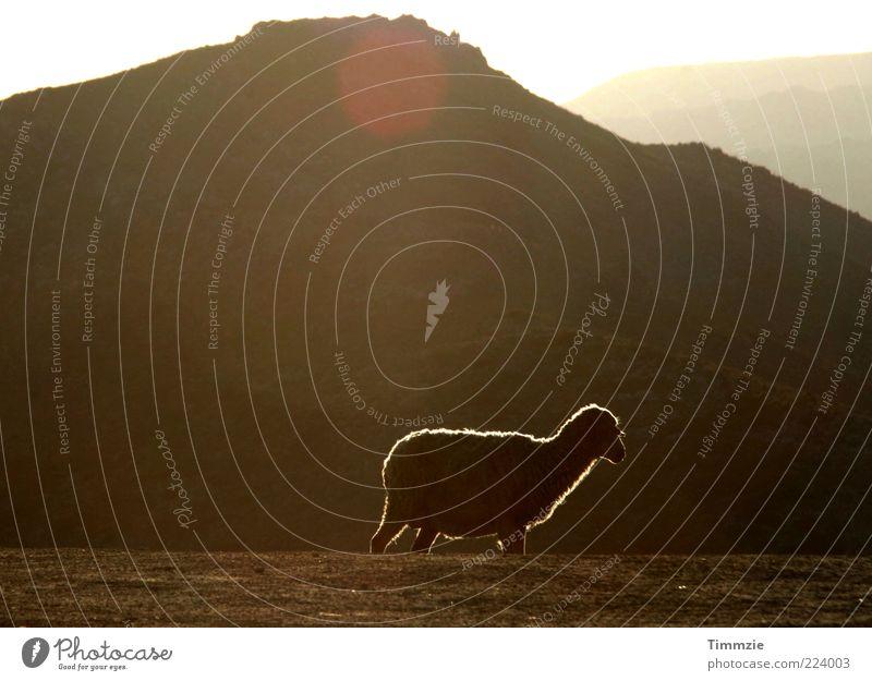 Loneliness Animal Mountain Landscape Wild animal Hill Peak Sheep Beautiful weather Lens flare Love of animals Lamb's wool