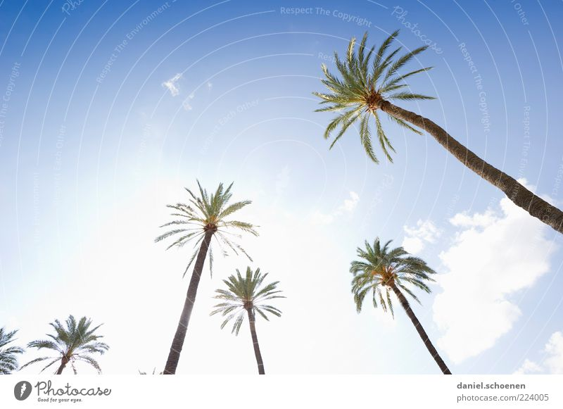 Sky Tree Summer Vacation & Travel Bright Tall Climate Palm tree Tree trunk Beautiful weather Blue sky Palm frond