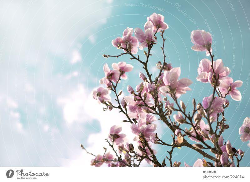 Sky Nature Tree Blossom Spring Pink Twig Blossom leave Spring fever Environment Magnolia blossom