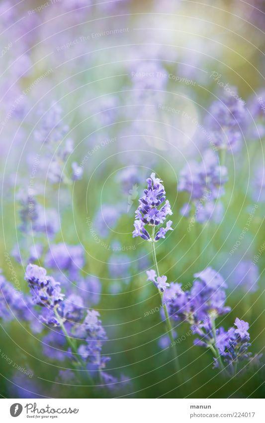 Nature Plant Summer Flower Blossom Natural Bushes Fragrance Lavender Medicinal plant