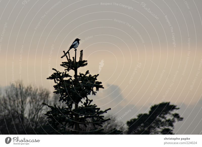 fir-tree top Environment Plant Tree Animal Bird Black-billed magpie 1 Wait Point Sit Treetop Exterior shot Deserted Copy Space right Copy Space top Dawn
