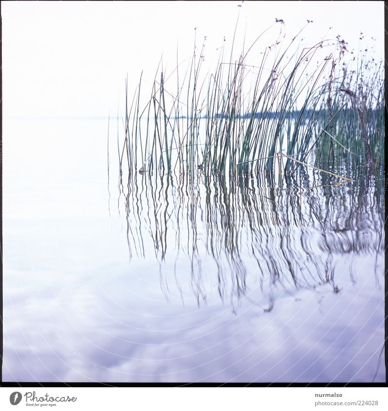 Nature Water Plant Summer Calm Landscape Environment Moody Bright Esthetic Growth Natural Elements Clean Common Reed Bay