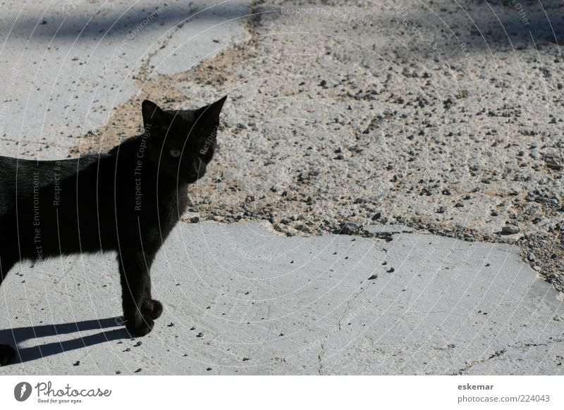 One Black Cat Animal Pet 1 Observe Looking Stand Wait Authentic Domestic cat Exterior shot Deserted Copy Space right Copy Space top Copy Space bottom