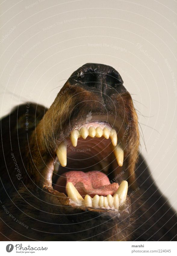 s Open your mouth Animal Wild animal Dead animal Animal face 1 Brown Bear Brown bear Teeth Set of teeth Show your teeth Muzzle Leisure and hobbies Hunting